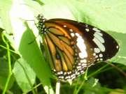 石垣島の蝶。スジグロカバマダラ
