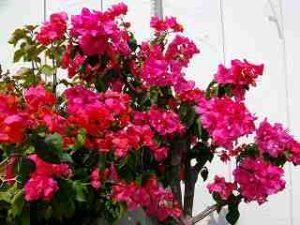 石垣島 ブーゲンビリアの花